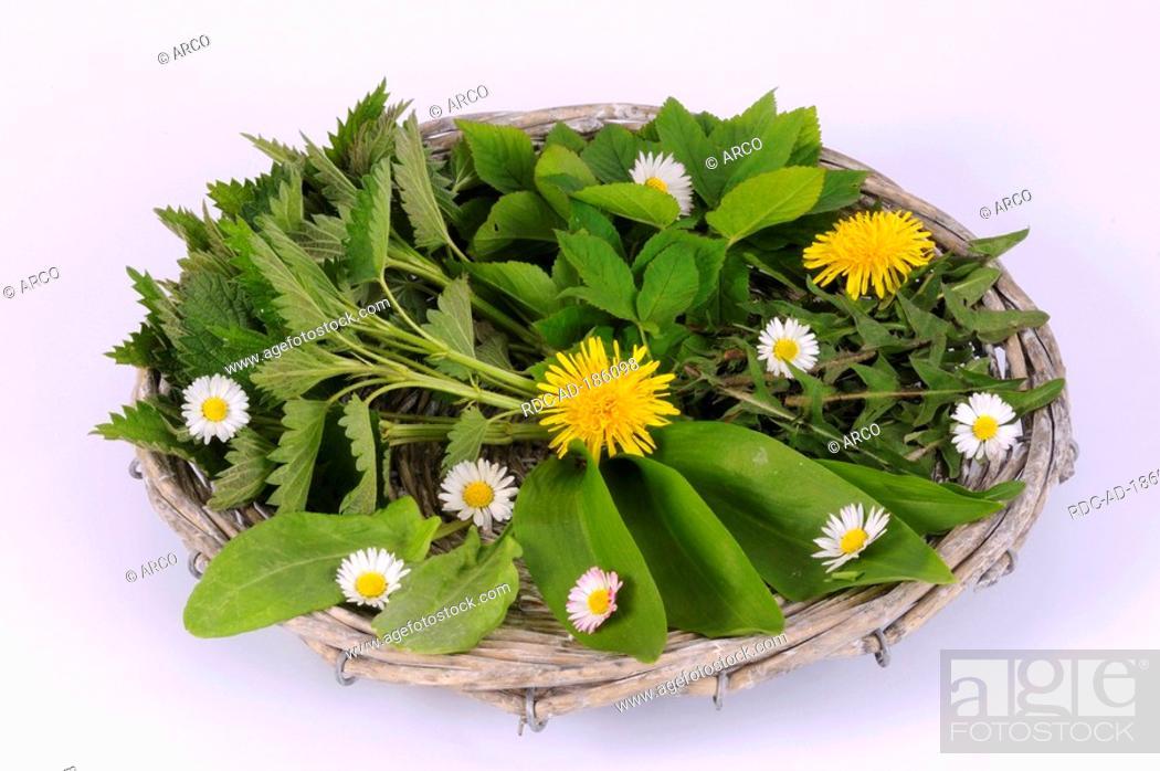 Stock Photo: Different springtime herbs, Dandelion, Ramson, Ground Elder, Sorrel.