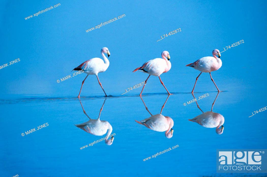 Stock Photo: Puna Flamingo (Phoenicoparrus jamesi), rare highly adapted to feed on microscopic diatoms. Laguna Colorada, Bolivia.