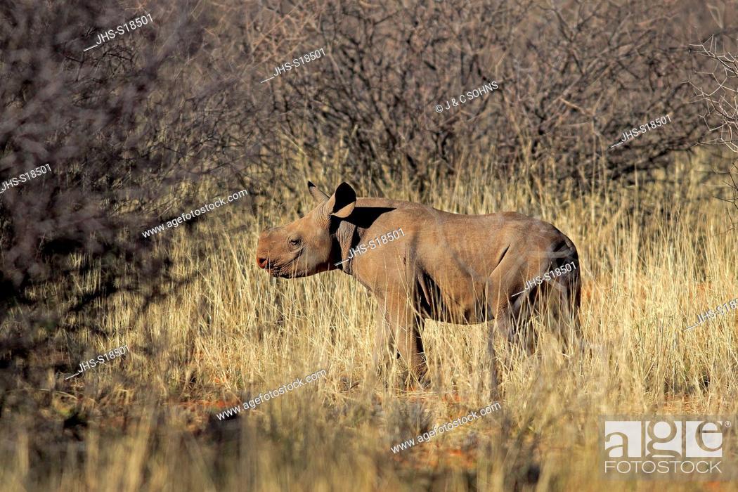 Stock Photo: Black Rhinoceros, hook-lipped rhinoceros, (Diceros bicornis), young, calf, Tswalu Game Reserve, Kalahari, Northern Cape, South Africa, Africa.