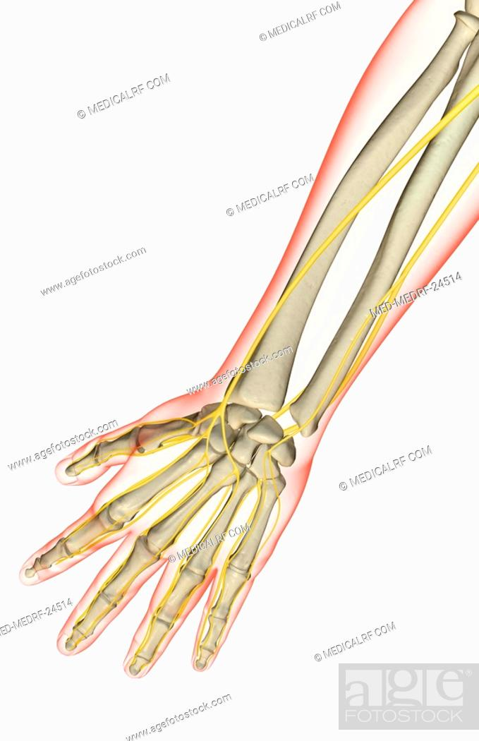 The Nerves Of The Forearm Stock Photo Picture And Royalty Free