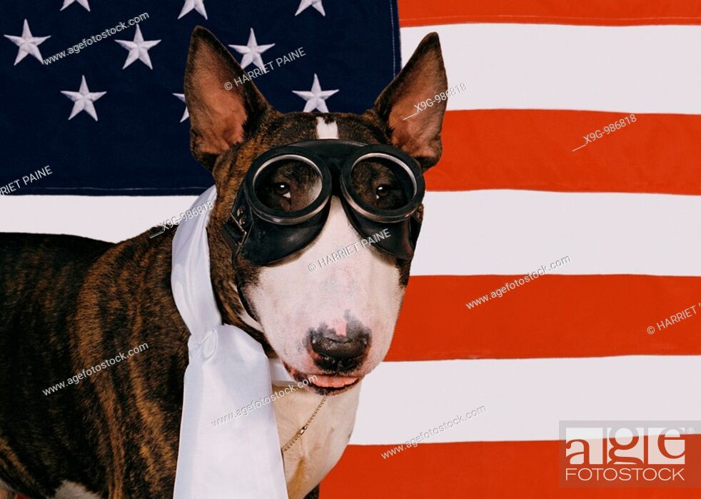 Stock Photo: English Bull Terrier.