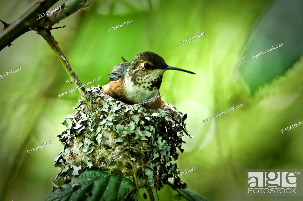 Stock Photo: Roofus humming bird sitting on her nest with two babies below her. You can see one small beek sticking up on the left.