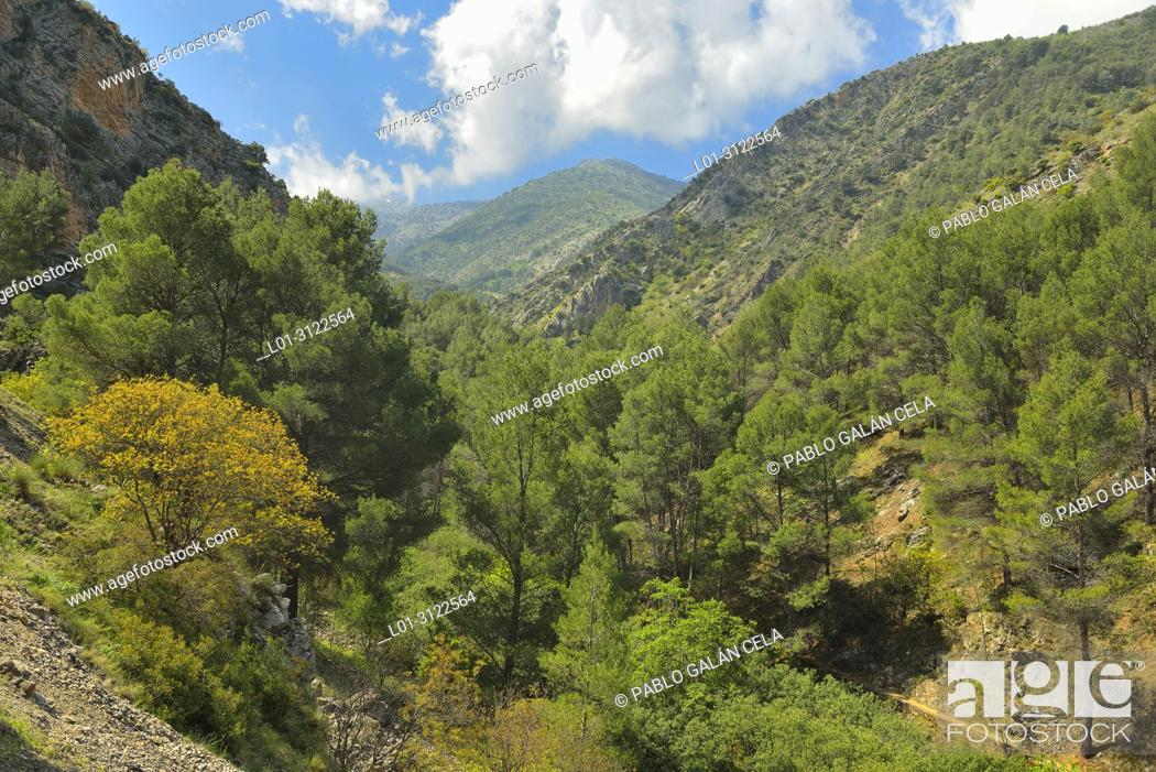 Stock Photo: Pine grove in Bedmar river valley, Sierra Magina, Jaen province, Andalusia, Spain.