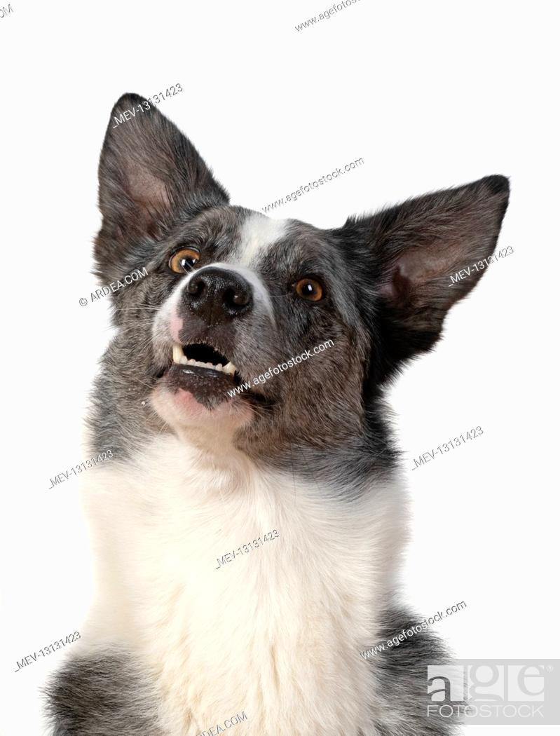 Stock Photo: DOG. Collie X breed, head & shoulders, facial expression studio, white background.