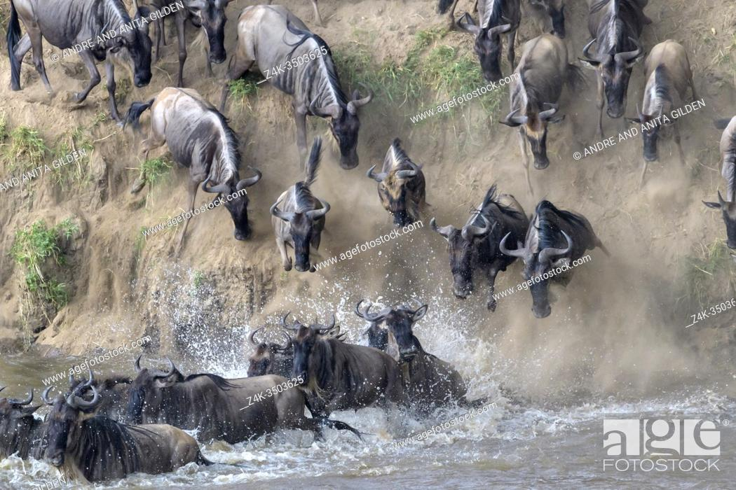 Stock Photo: Blue wildebeest, brindled gnu (Connochaetes taurinus) herd crossing the Mara river by jumping in during the great migration, Serengeti national park, Tanzania.