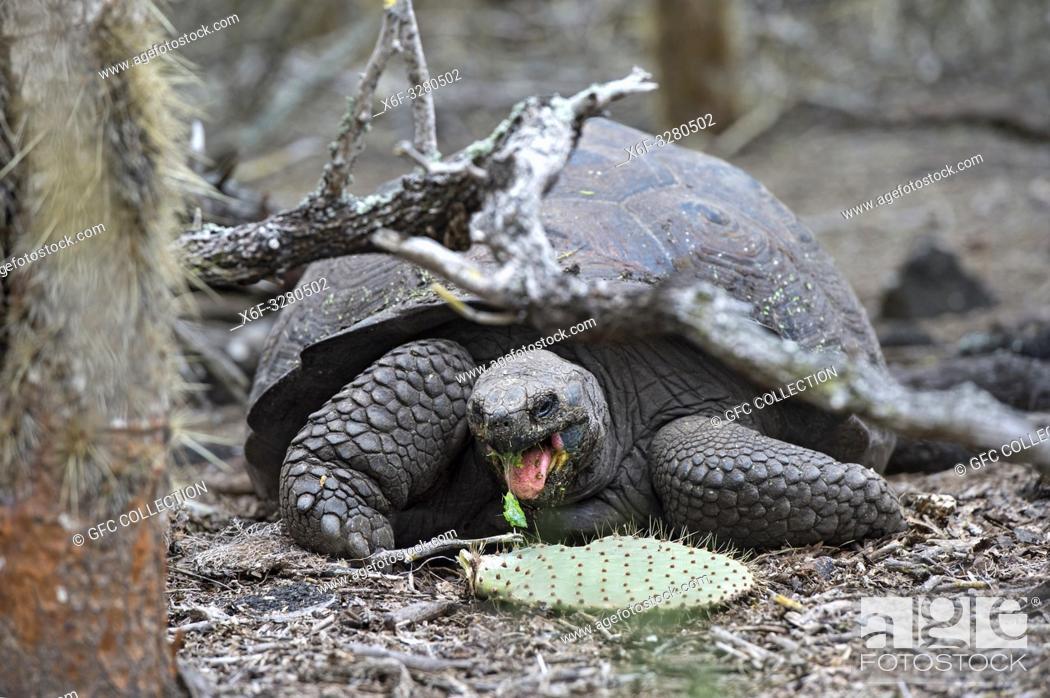 Photo de stock: Galápagos giant tortoise (Chelonoidis nigra ssp), feeding on an Opuntia leave, in situ, Isabela Island, Galapagos Islands, Ecuador.