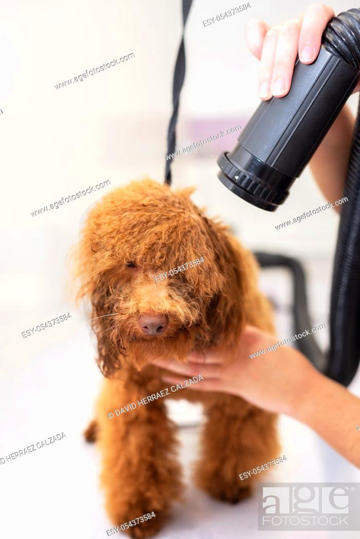 Stock Photo: Profile of adorable wet poodle after shower, female hands drying poodle's hair .