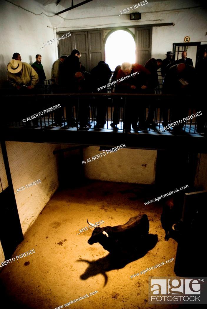 Stock Photo: Fighting bull, Las Ventas bullring, Madrid, Spain.