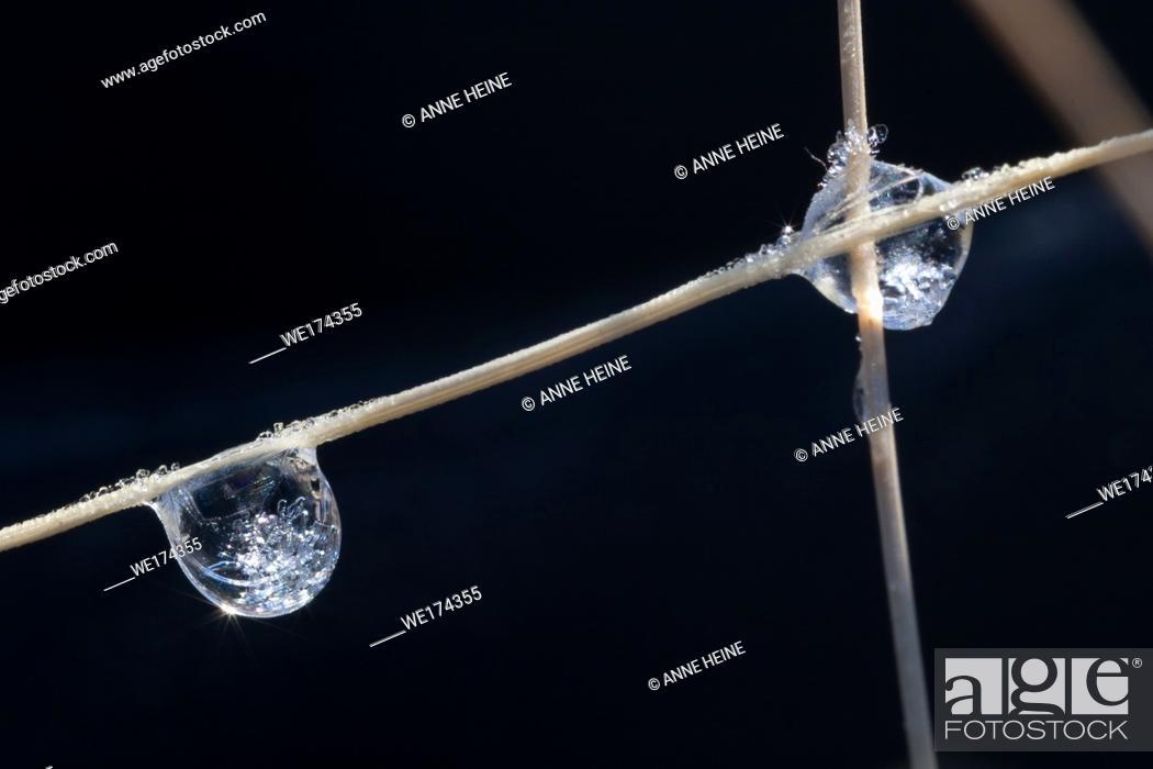 Stock Photo: Frozen dew drops. Waterton-Lakes National Park, Canada.