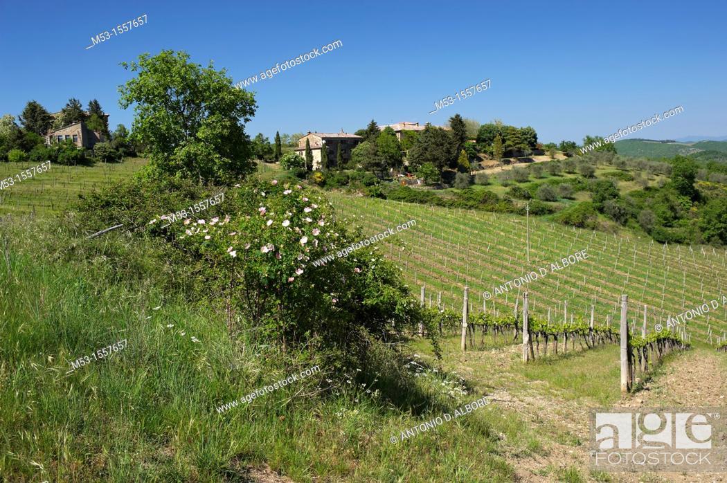 Stock Photo: Beautiful vineyards in Tregole village  Province of Siena  Tuscany  Italy.