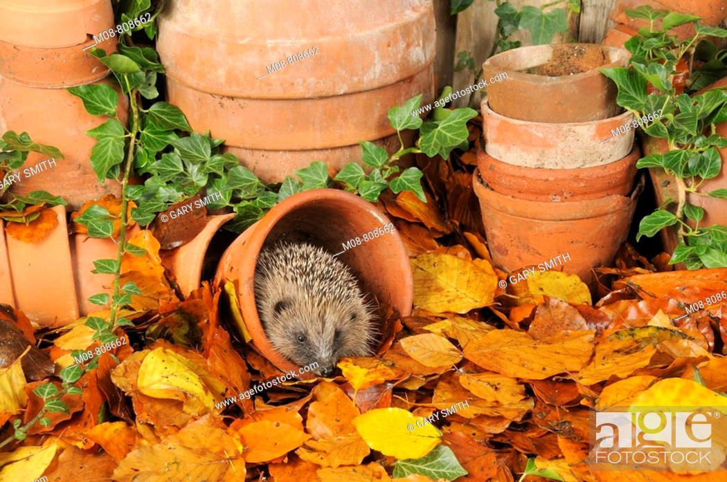 Stock Photo: Hedgehog (Erinaceus europaeus) foraging for food in urban garden amongst terracotta pots and autumn leaves, UK.