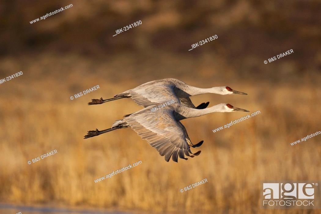 Stock Photo: Sandhill Cranes (Grus canadensis), adults in flight, Bosque del Apache National Wildlife Refuge, New Mexico, USA.