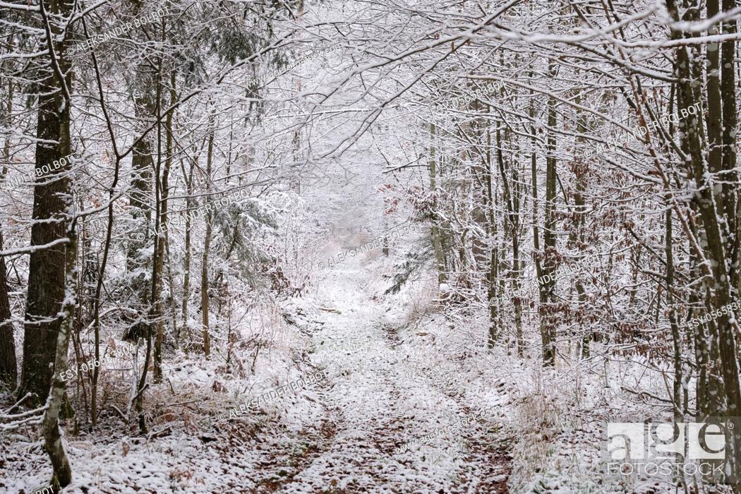 Stock Photo: Dirt road crossing snowy deciduous stand, Bialowieza Forest, Poland, Europe.