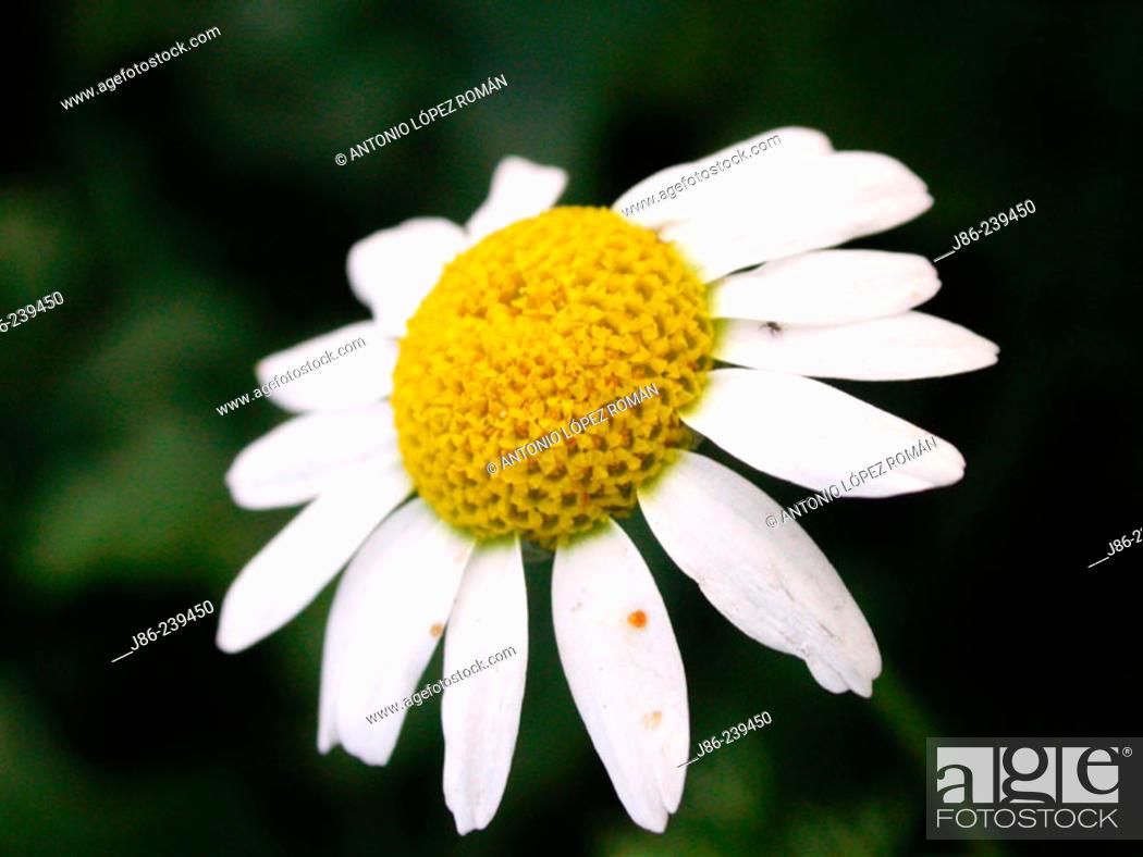 Stock Photo: Daisy (Leucanthemum nobilis).