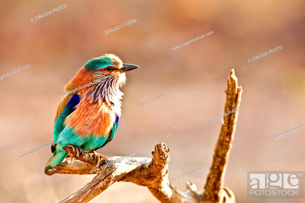 Stock Photo: Indian roller coracias benghalensis on tree perch , Ranthambore national park , Rajasthan , India.