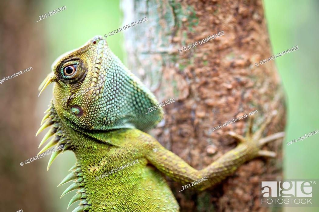 Imagen: Mountain Horned Dragon (Acanthosaura capra). Bach Ma National Park. Vietnam.