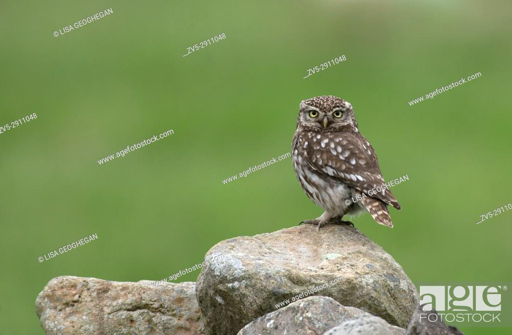 Stock Photo: Little Owl-Athene noctua. Uk.