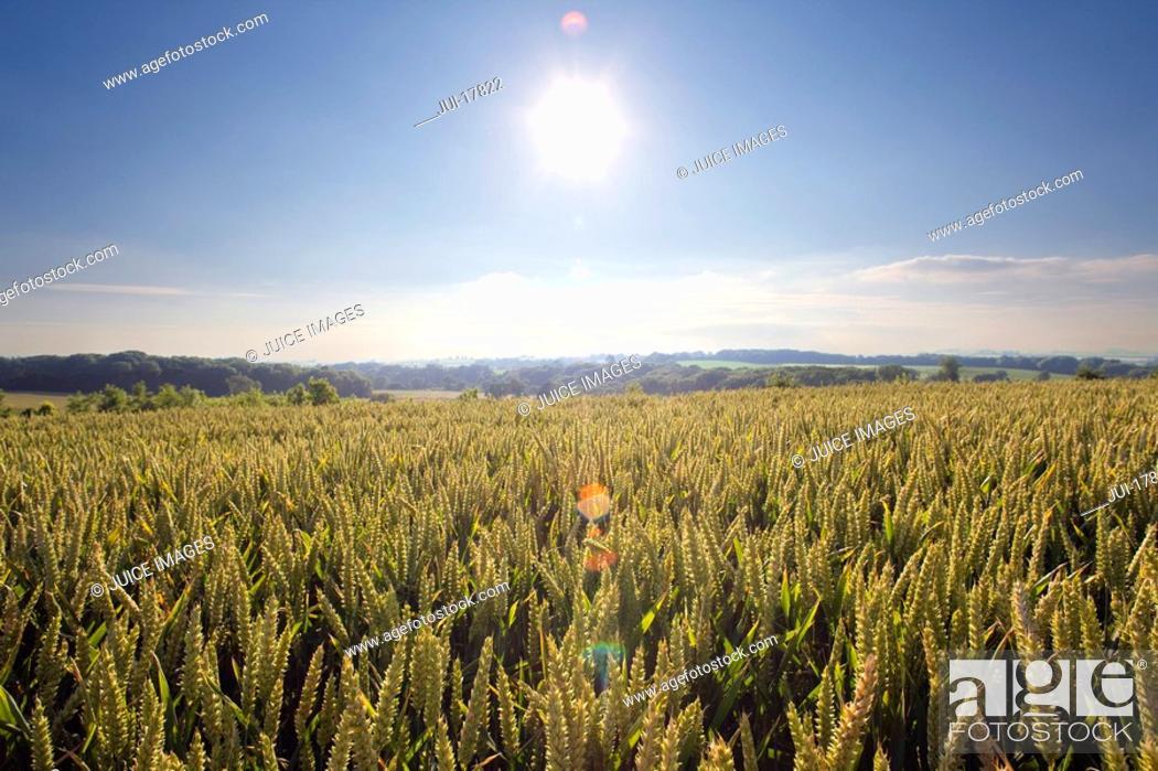 Stock Photo: Sunny wheat field.
