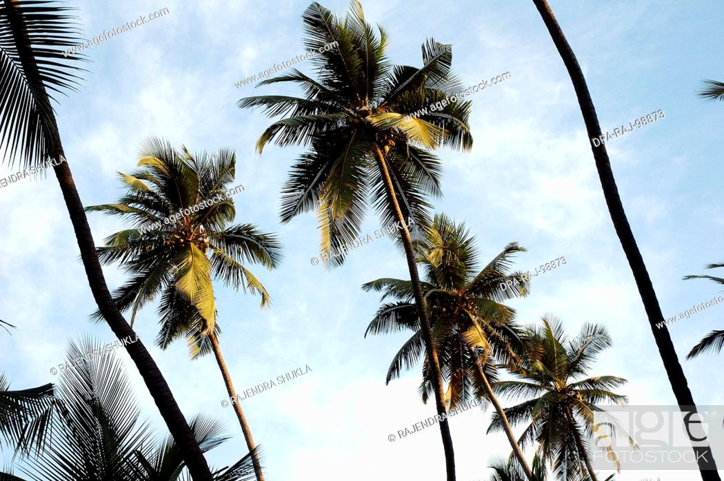 Stock Photo: Low angle of many Coconut Trees in a Coconut Grove with blue sky and white clouds , India.