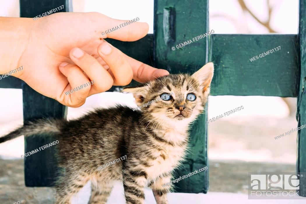 Stock Photo: Man's hand petting a tabby kitten.