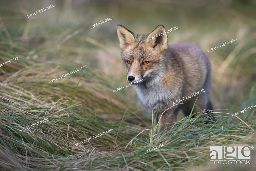 Stock Photo: Red Fox ( Vulpes vulpes ) in nice winter fur, walking through high grass of a meadow, close frontal side view, wildlife, Europe.