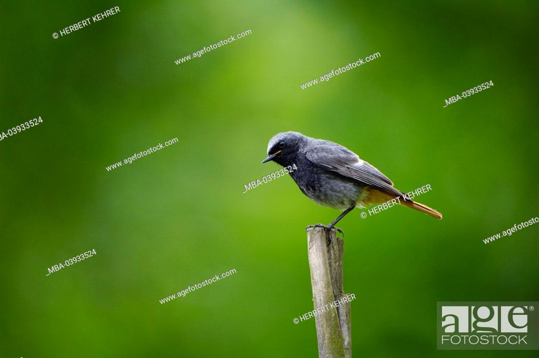 Stock Photo: Garden-red-tail, Phoenicurus phoenicurus, squab, animal, bird, throttle, flycatchers, red-tail, redstart, song-bird, sitting, posts, nature, side-view young,.