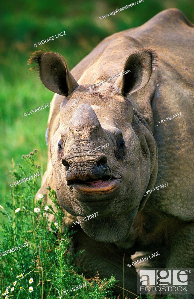 Stock Photo: Indian Rhinoceros (Rhinoceros unicornis).