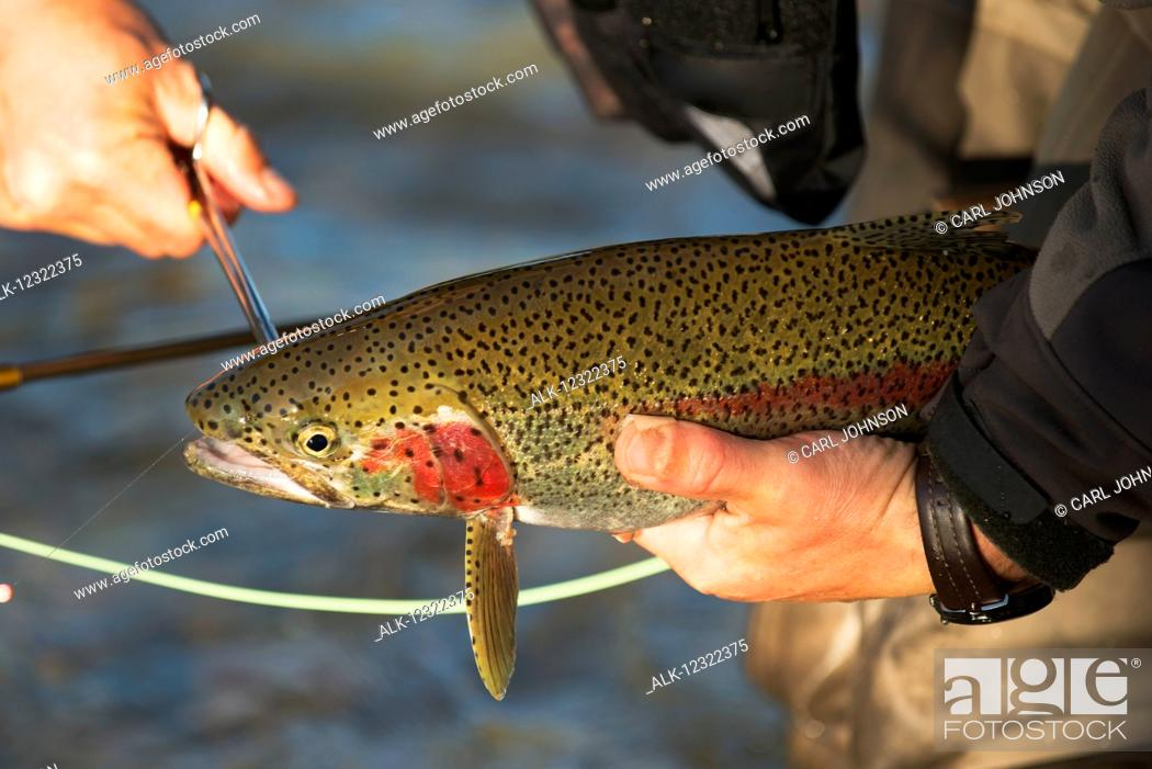 Photo de stock: angler removes a fishing hook from the mouth of a Rainbow Trout before releasing it back into Kvichak River near Iliamna Lake, Bristol Bay region.