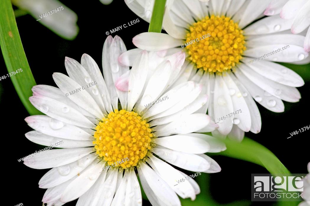 Stock Photo: Common Daisy, Bellis perennis  Flower heads sprinkled with raindrops against dark background  Close up, filled frame.