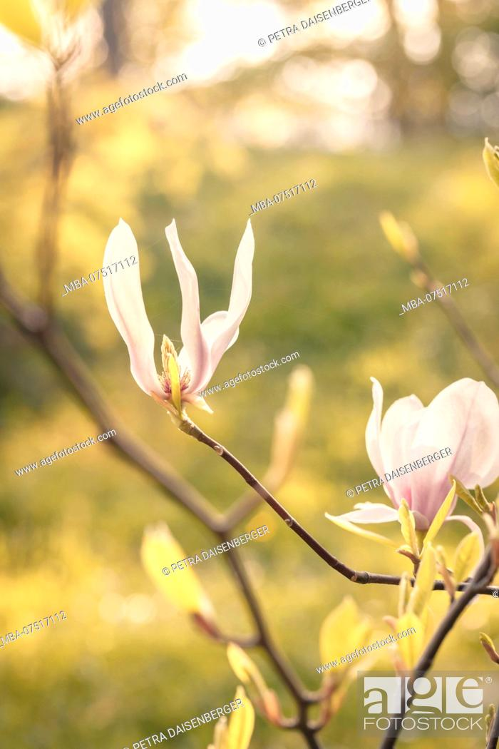 Close Up Of A Magnolia Bush Stock Photo Picture And Rights Managed