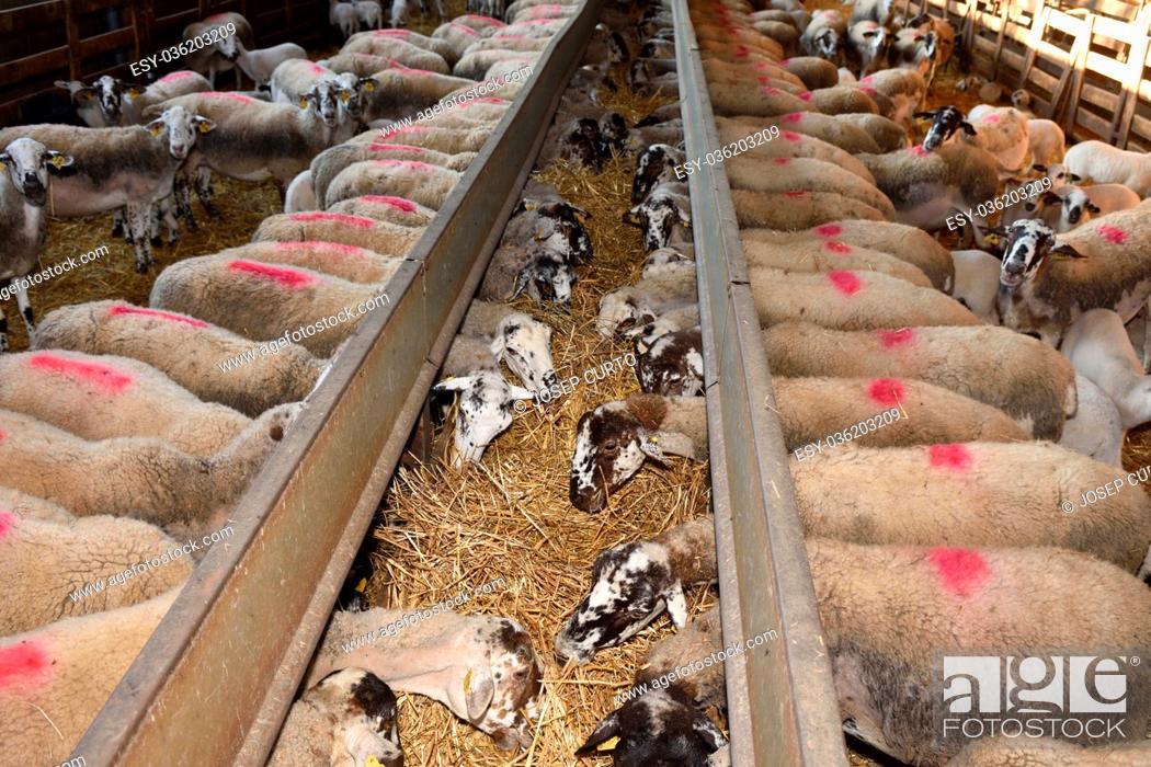 Imagen: Sheep eating on a farm.