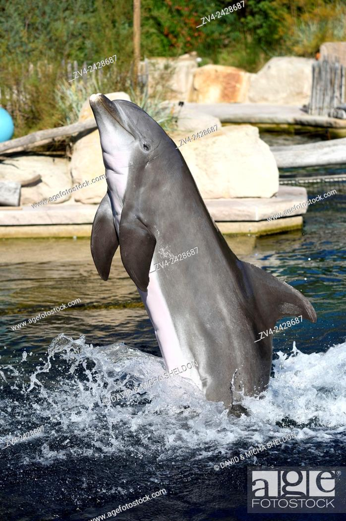 Stock Photo: Close-up of a common bottlenose dolphin (Tursiops truncatus) in a zoo in autumn.