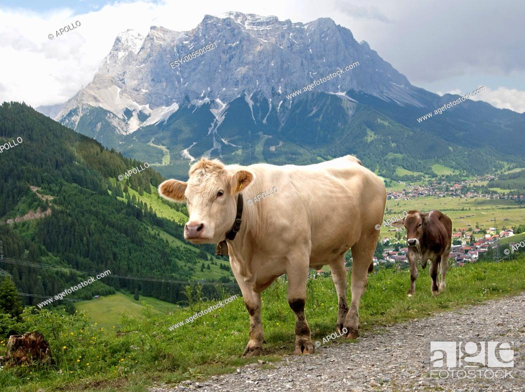 Stock Photo: Cow with calf on a hiking trail above the Ehrwalder Becken valley, Mt. Zugspitz Massif behind, Tyrol, Austria.