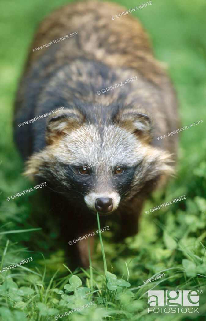 Stock Photo: Raccoon Dog (Nyctereutes procyonoides).