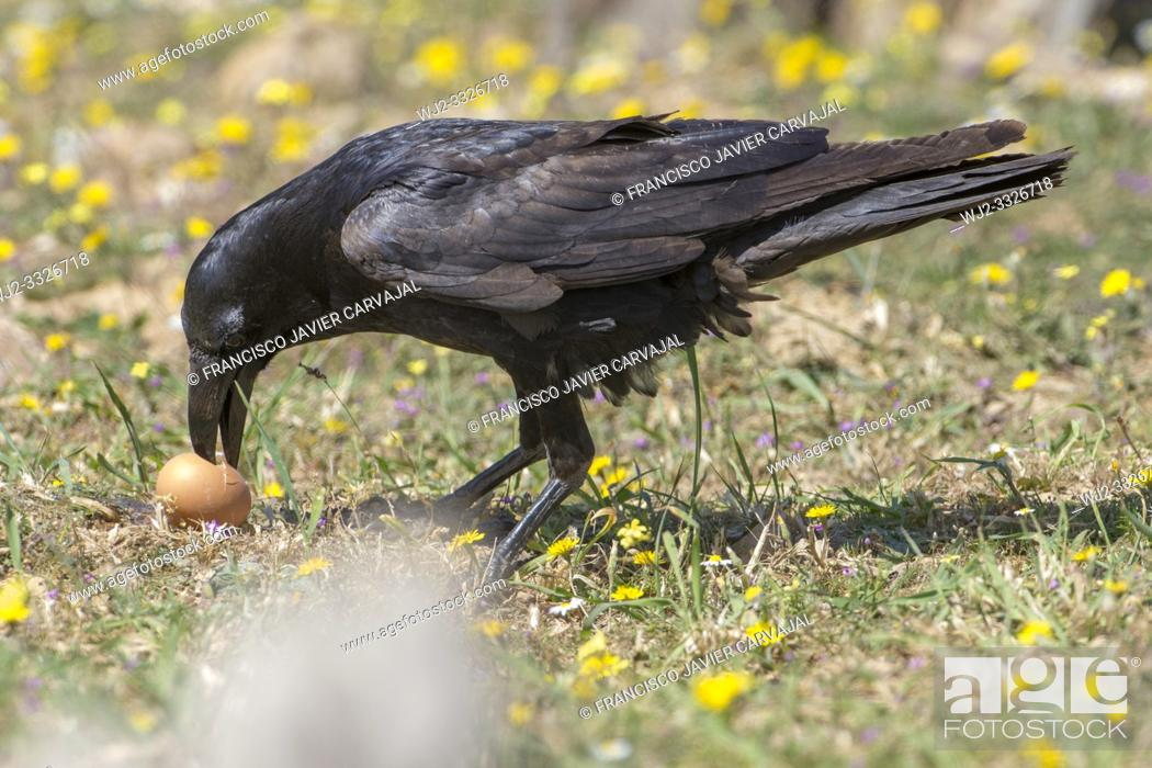 Stock Photo: Common raven (Corvus corax) with a rare brown plumage, eating an egg, Extremadura, Spain.
