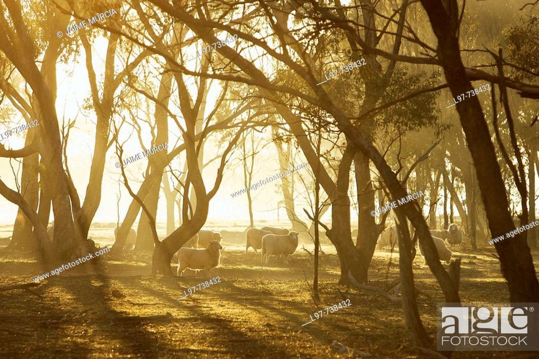 Stock Photo: Early morning sheep, central Victoria, Australia.