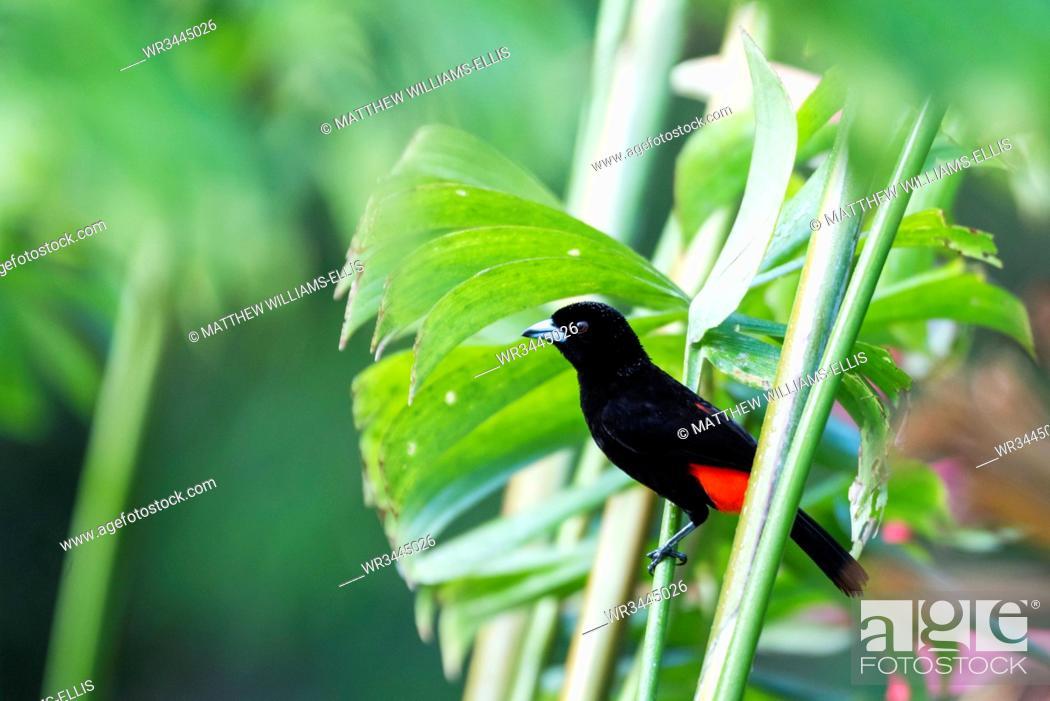 Imagen: Scarlet-rumped Tanager (Ramphocelus passerinii), Boca Tapada, Alajuela Province, Costa Rica, Central America.