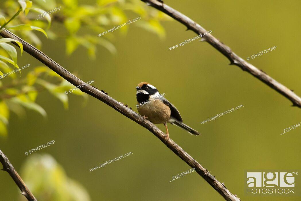 Stock Photo: Black-throated tit, Aegithalos concinnus, Chopta, Uttarakhand, India.