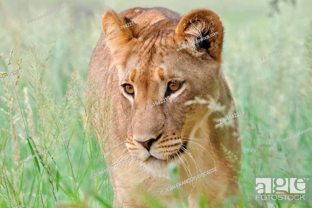 Stock Photo: Lioness, Panthera leo, Kgalagadi Transfrontier Park, Northern Cape, South Africa.