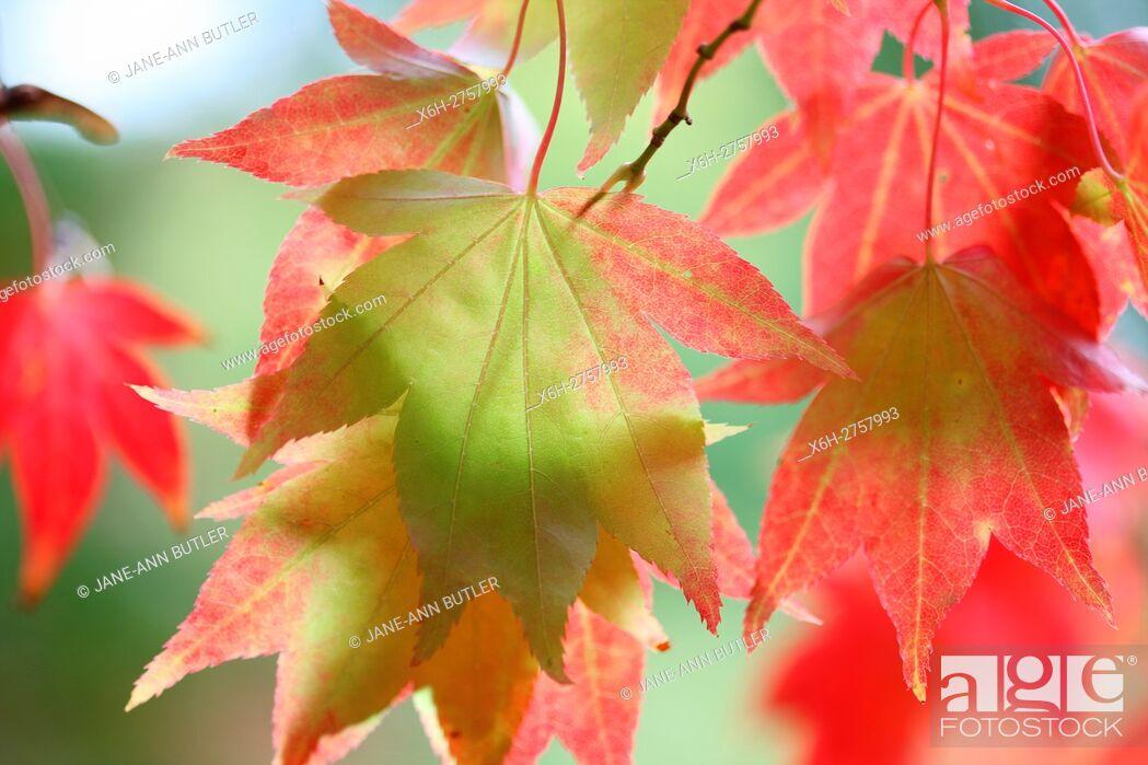Stock Photo: acer palmatum amoenum, sunlight looking through japanese maple autumn leaves.