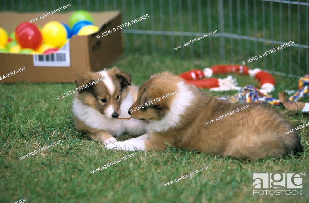 Stock Photo: Sheltie Puppies playing together.