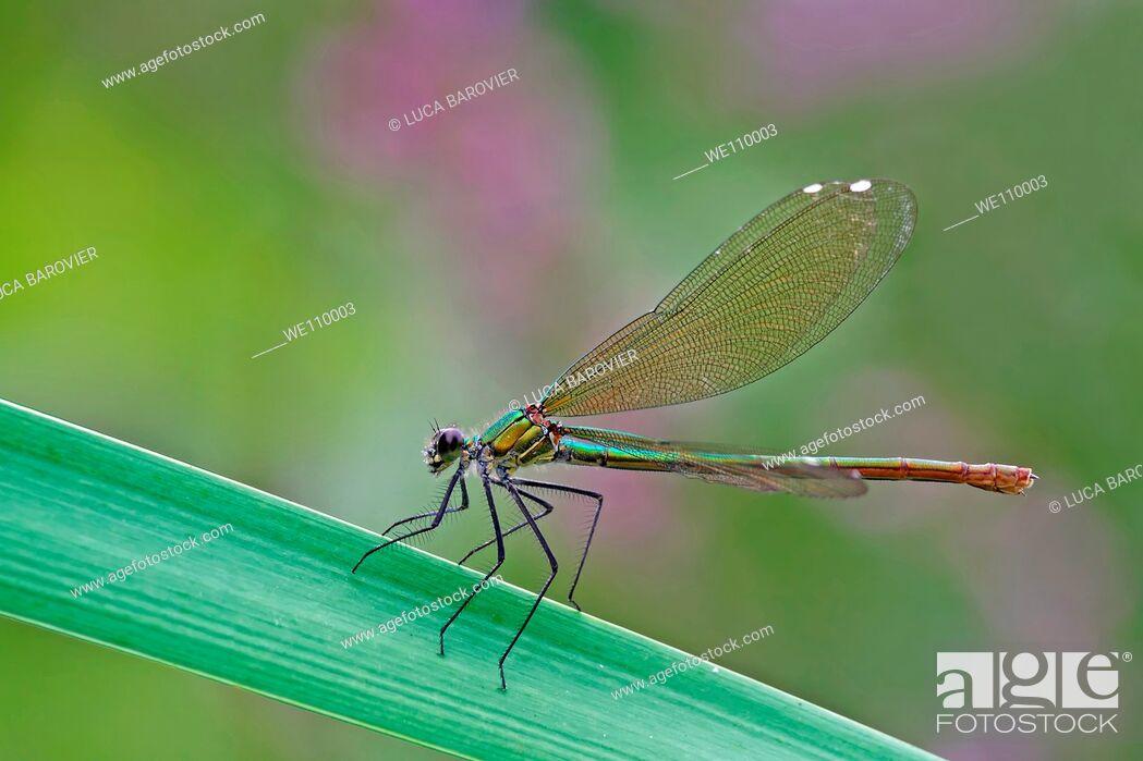 Imagen: Calopteryx splendens - The perfect mechanism of natural flight.