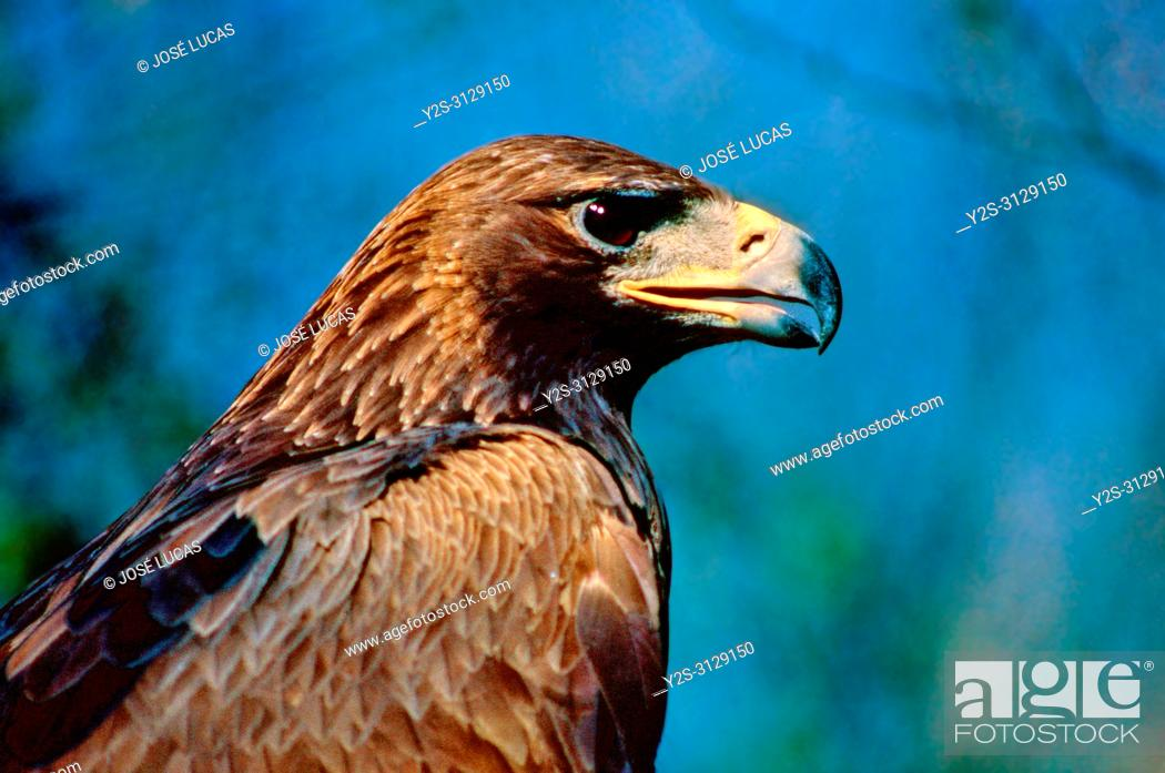 Stock Photo: Golden eagle (Aquila chrysaetos). Southern Spain. Europe.