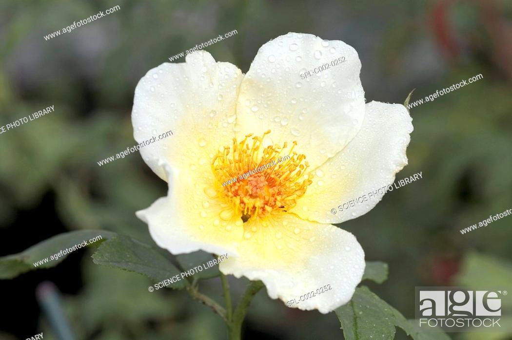 Stock Photo: Rose Golden Wings. Modern Shrub Rose. Single Flower in the rain.