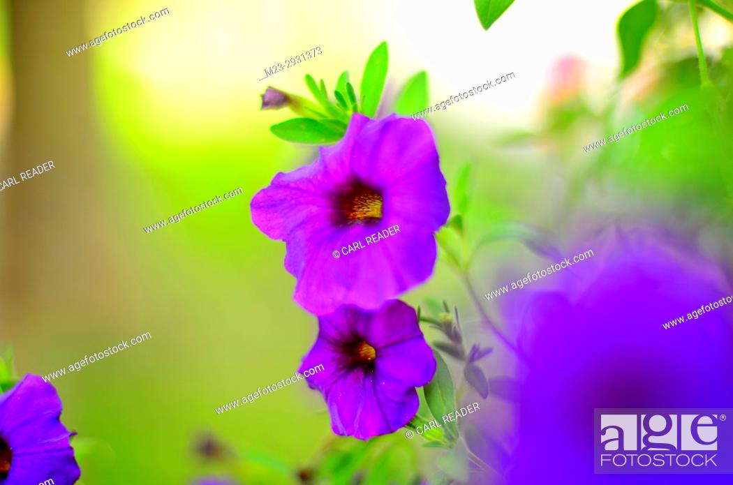 Stock Photo: A close-up of petunias in soft-focus, Pennsylvania, USA.