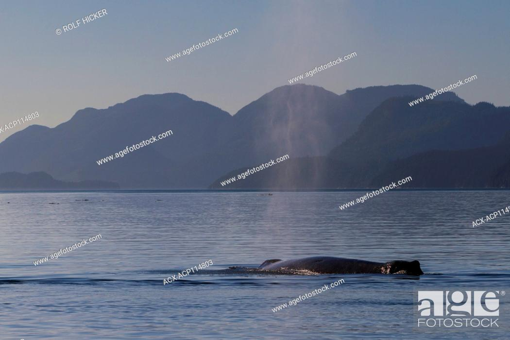 Stock Photo: Humpback whale (Megaptera novaeangliae) spout, Knight Inlet, off northern Vancouver Island, British Columbia, Canada.