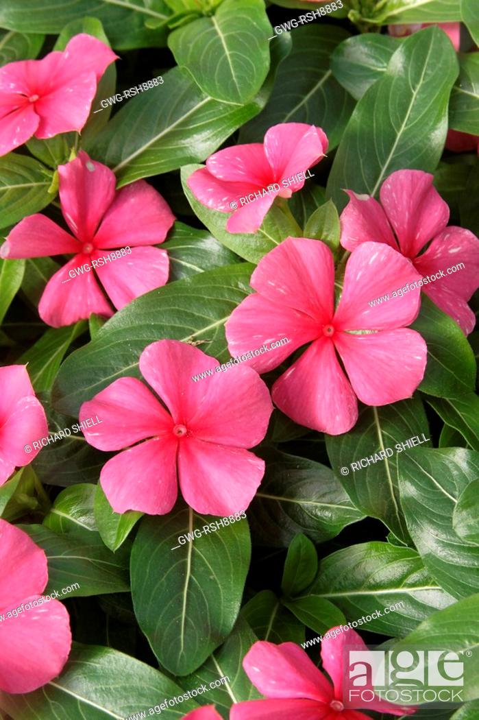 Stock Photo: CATHARANTHUS ROSEUS 'RIVIERA RED SALMON'.