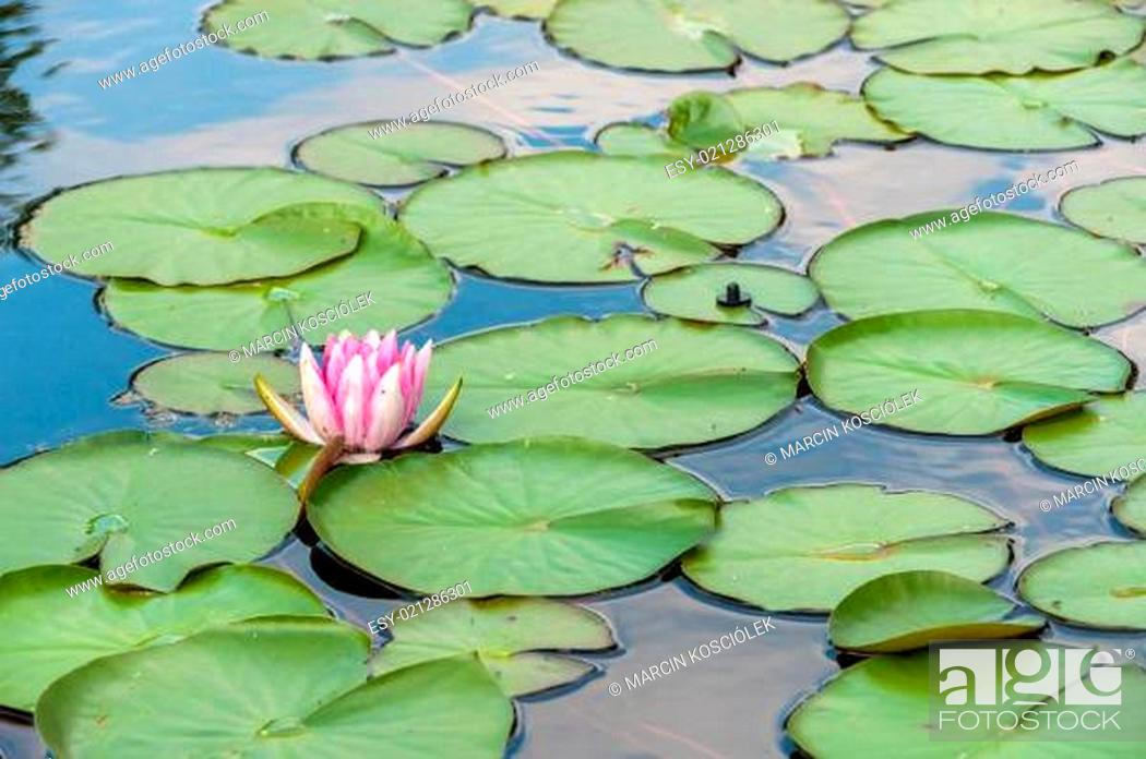 Stock Photo: Water lilly in a pond.