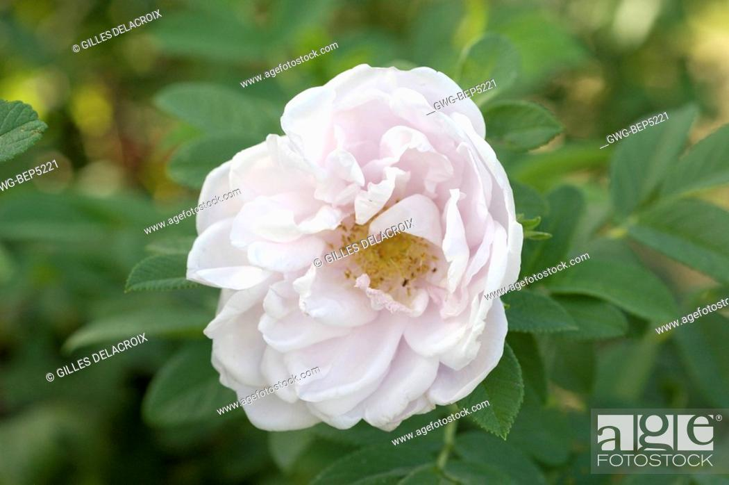 Rosa Snow Pavement Stock Photo Picture And Rights Managed Image