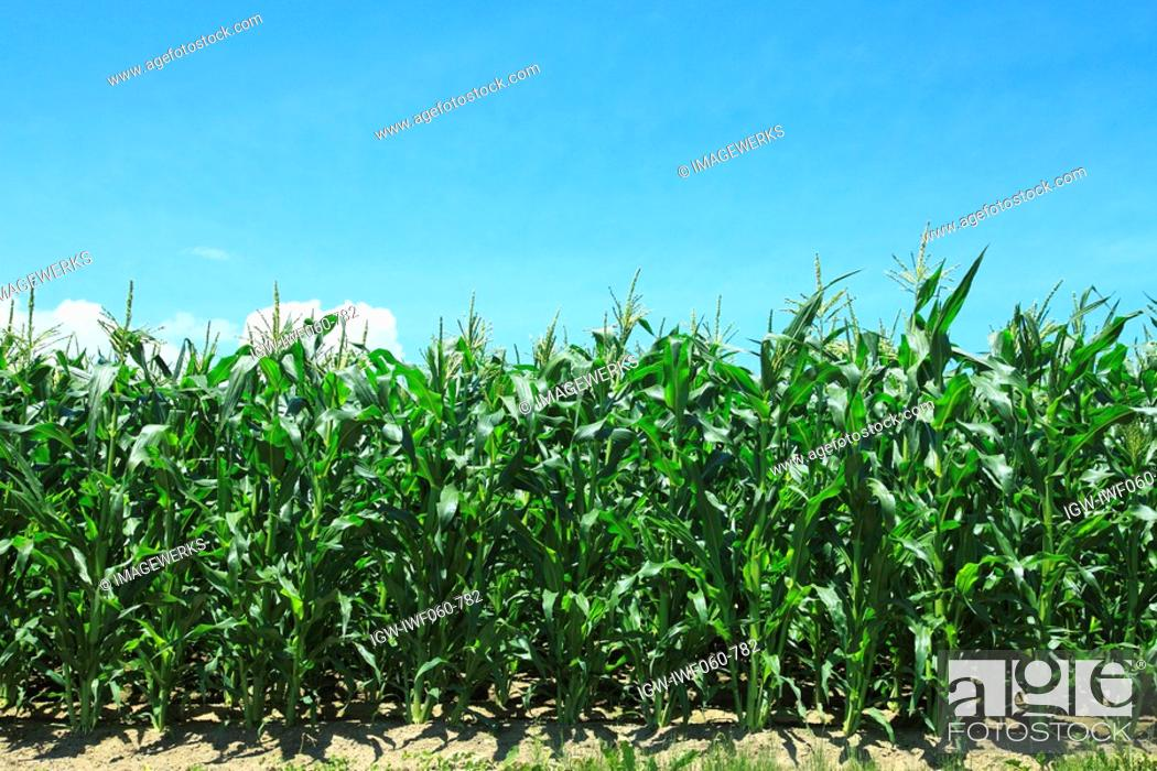 Stock Photo: Corn field against blue sky.